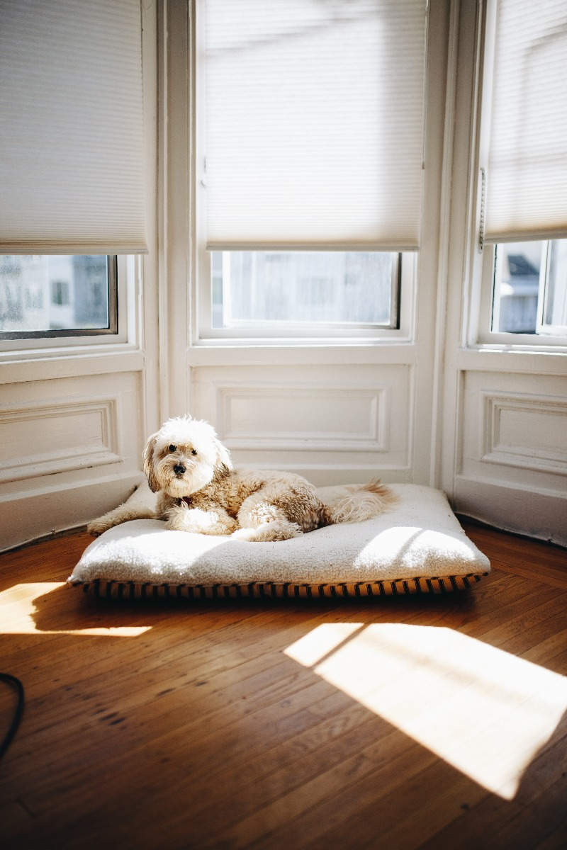 dog on rug in front of three large windows that have white wooden venetian blinds covering them